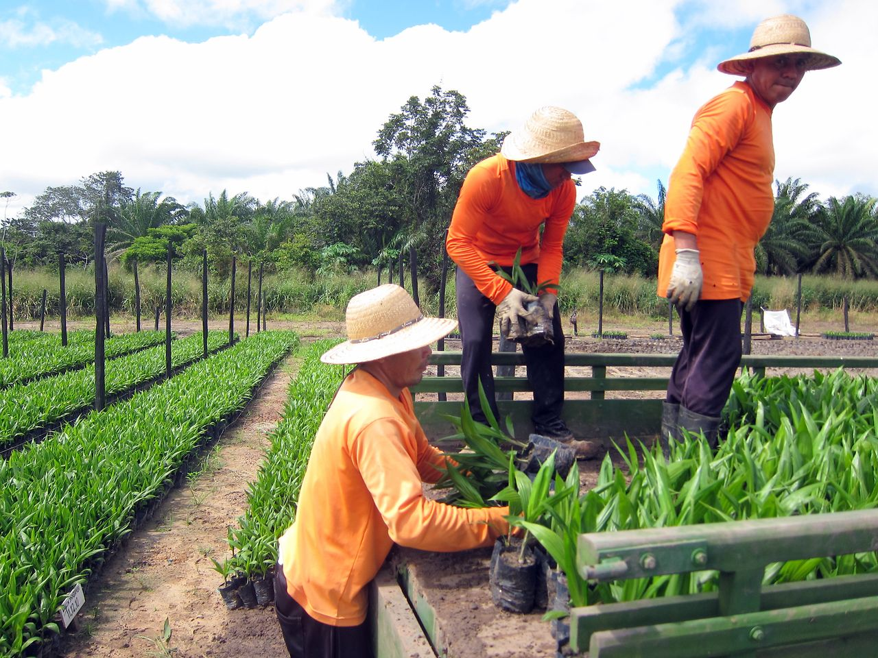 Farmers working at sustainable oil palm farm